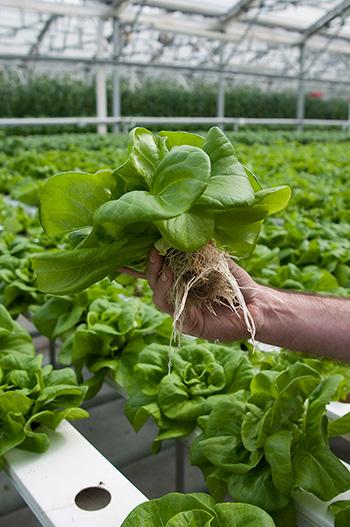 salade hydroponique racines dans une serre