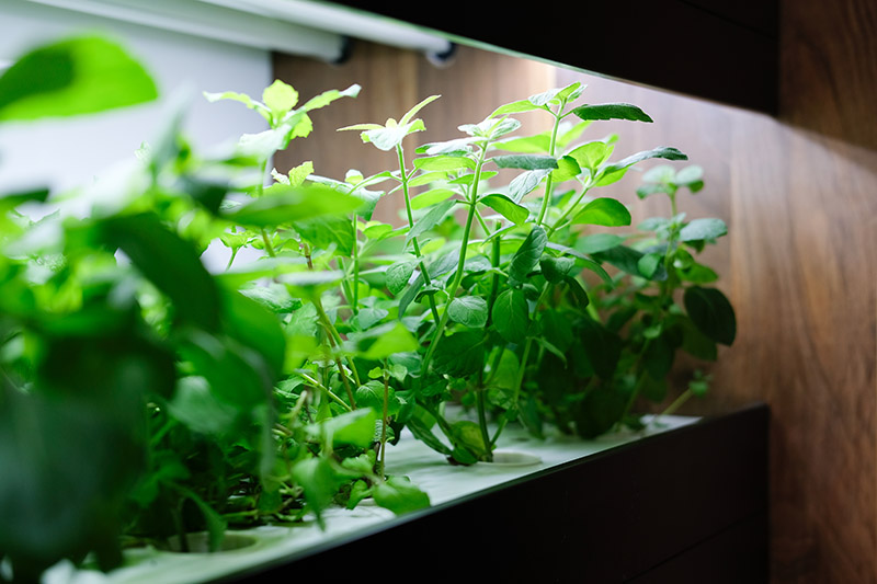 hydroponic vegetable growing onshelf with artificial light in room